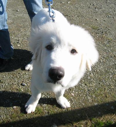 IMG_8522ピレネー犬