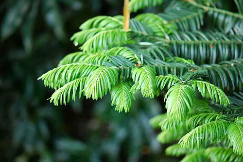 110514 樅の木