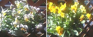 20060405花3