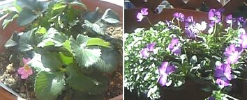 20060405花4