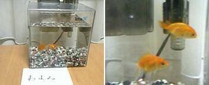 20060820金魚