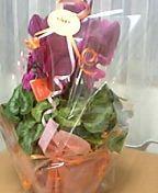 20051129誕生日プレゼントのシクラメン
