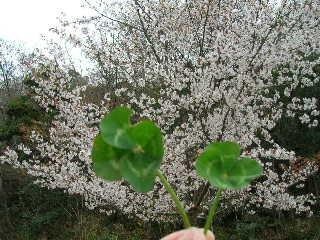 桜と四葉のクローバー