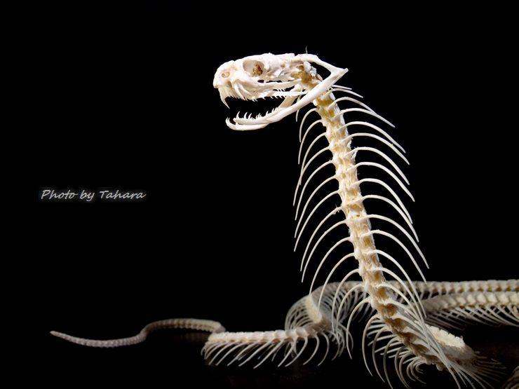 タイコブラ