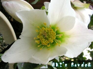 ニゲル花H19 3
