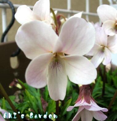 薄紅肥後スミレ花H9 3