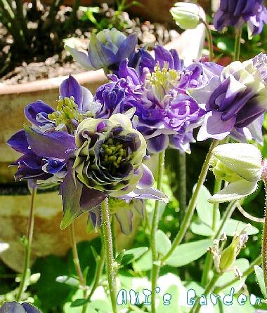 オダマキ 紫八重