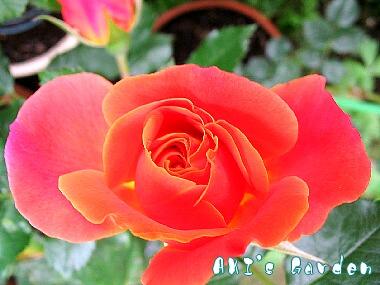 Disneyland Rose2