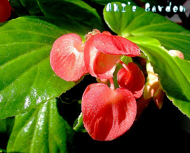 Begonia Dragon Wing'