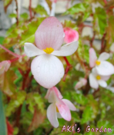 Begonia Richmondensis花