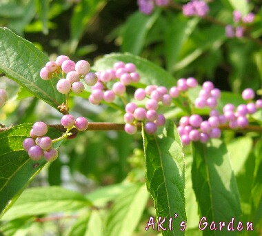 Callicarpa japonica