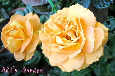 Rosa 'TANdolgnil' Goldelse