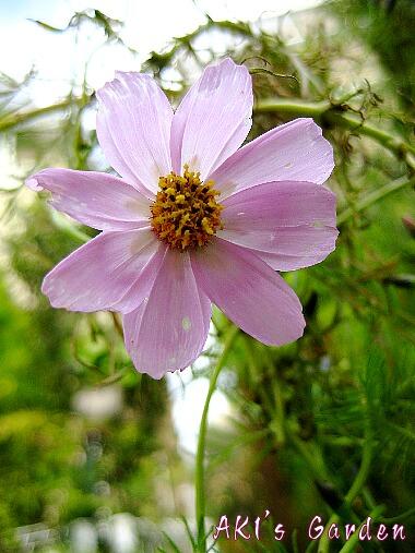 秋桜ピンク