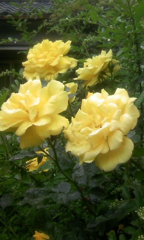 110510_105859黄色い薔薇