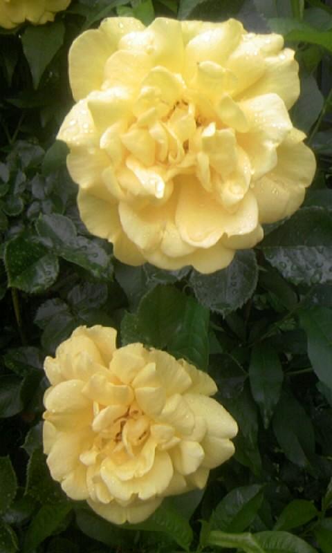 110510_105918黄色い薔薇
