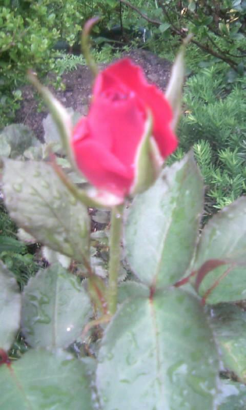 110510_105948紅いバラ