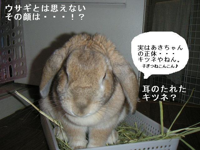 キツネ目のウサギ?