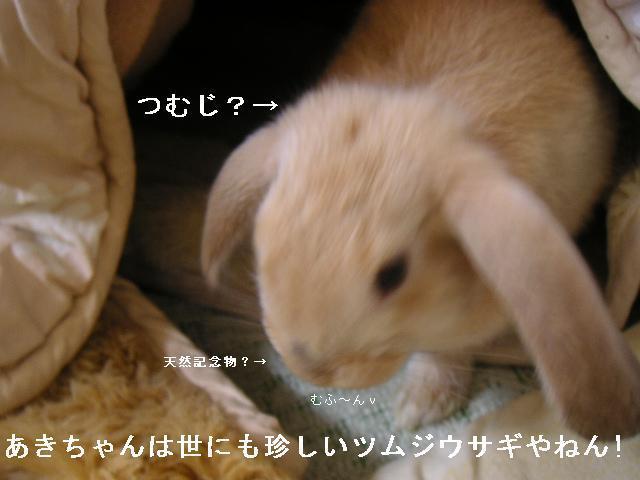 あきちゃんは世にも珍しいツムジウサギ。