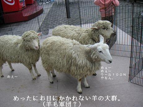 羊の大群に出会うの巻。