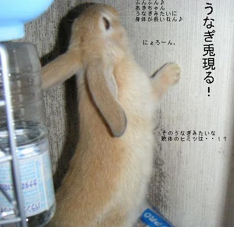 うなぎ兎現る!