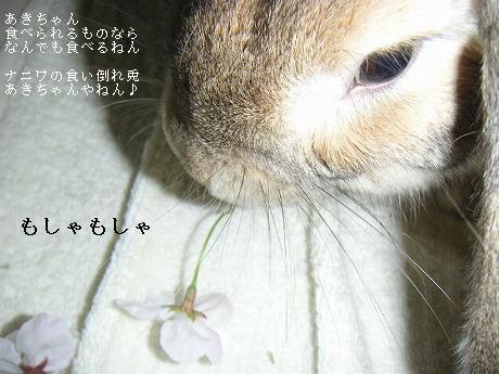 あきちゃんにとっては桜は食べるもの。