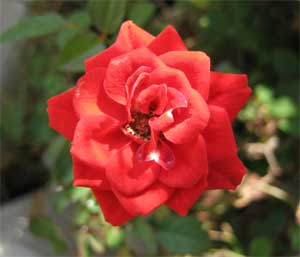 ミニバラの花1-8