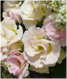 バラ咲きポリアンサ