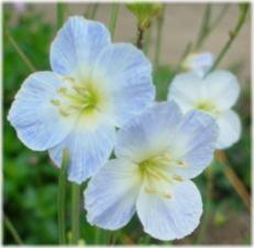 Heliophila longifolia Mr.blue sky