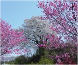 岡津古の桜と桃