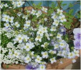 "Heliophila longifolia ""Mr.Blue Sky"""