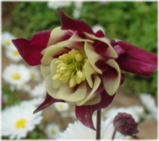 Aquilegia vulgaris Winky Double Red-White