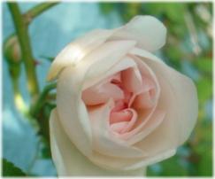Desprez a Fleurs Jaune