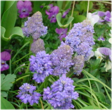 Muscari 'Blue Spike'