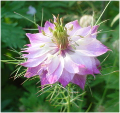 Nigella damascena 'mulberry rose'