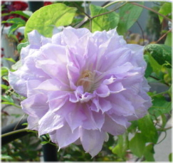 Clematis cv. 'Belle of Woking'