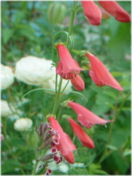 Penstemon barbatus coccineus 'Jingle Bells'