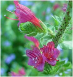 Echium tuberculum