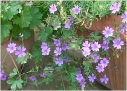 Geranium pyrenaicum Summer Skies