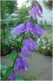 Adenophora pereskiifolia