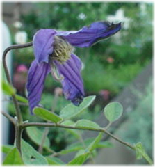 """Clematis integrifolia """"Eriostemon"""""""