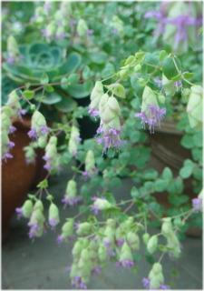 Origanum pulchellum