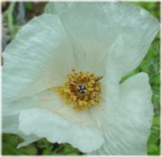 Argemone grandiflora
