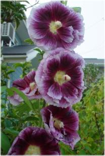 Alcea rosea 'Blackcurrant Whirl'