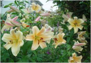 Lilium 'Orania'