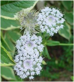 Trachymene caerulea
