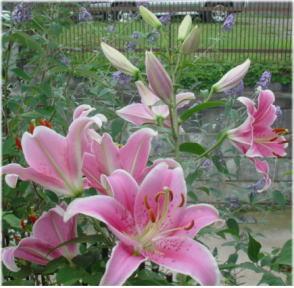 Lilium Oriental-Hybrids Sorbonne