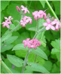 Oxypetalum caerulemu'Pink Star'
