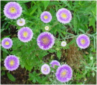 Aster chinensis