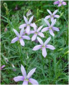 Laurentia axillaris