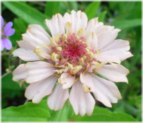Zinnia elegans 'Scabious Flowered Mix'